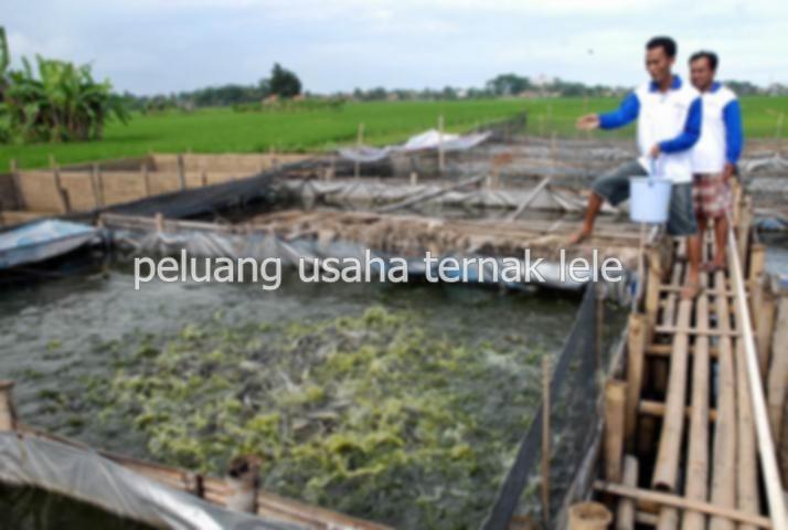 cara ternak bebek tanpa angon